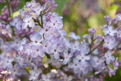 Красивый конец-вверх ветви сирени Сирень Стоковое Фото