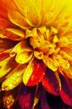 Красивый конец-вверх георгина цветка Стоковое Фото