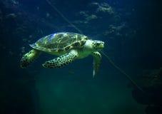 Красивый конец-вверх морской черепахи заплывы в аквариуме oceanarium стоковое фото rf