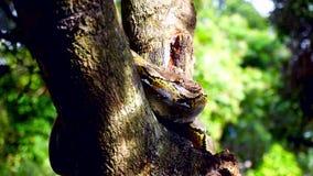 Красивый конец вверх остатков змейки Phyton на дереве акции видеоматериалы
