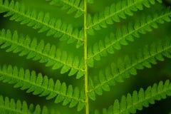 Красивый конец вверх по картине зеленых лист папоротника в лесе Стоковые Изображения