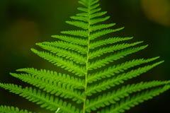 Красивый конец вверх по картине зеленых лист папоротника в лесе Стоковая Фотография