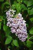 Красивый конец вверх по фото цветков сирени стоковое изображение rf