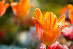 Красивый конец вверх снятый оранжевого тюльпана в цветени на солнечный весенний день в Гранд-Рапидсе Мичигане на садах Frederik M стоковые изображения