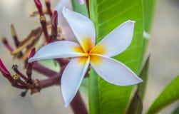 Красивый конец головы белого цветка вверх с зелеными листьями стоковое фото