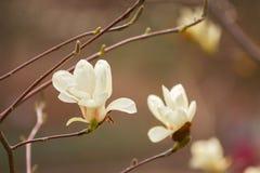 Красивый конец цветения магнолии вверх запачканная предпосылка Стоковые Фотографии RF