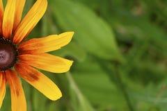 Красивый конец Blackeyed Сьюзан цветка вверх по предпосылке стоковое фото
