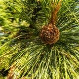 Красивый конус сосны цвета на зеленых ветвях Стоковые Изображения
