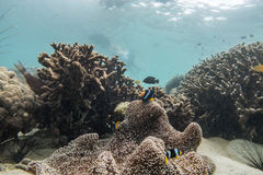 Красивый коралловый риф в лорде Loughbolough или острове дракона моря, Стоковое фото RF