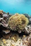 Красивый коралловый риф в лорде Loughbolough или острове дракона моря, Стоковое Изображение RF