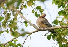 Красивый коричневый голубь вытравляя свое тело стоковые изображения rf