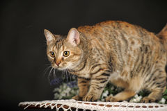 Красивый коричневый кот Стоковые Фото