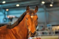 Красивый коричневый портрет жеребца Стоковое Изображение RF