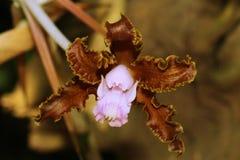 Красивый коричневый цветок орхидеи стоковые фото