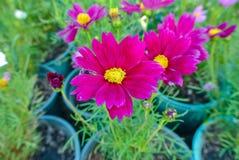 Красивый космос цветка или космос серы Стоковая Фотография