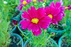 Красивый космос цветка или космос серы Стоковое фото RF