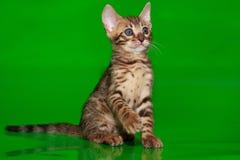 Красивый котенок Бенгалии с голубыми глазами стоковые изображения