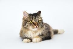 Красивый кот лежа на поле стоковые изображения rf