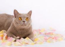 Красивый кот лежит Стоковое Изображение RF