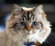 Красивый кот женщины голубых глазов Стоковые Изображения