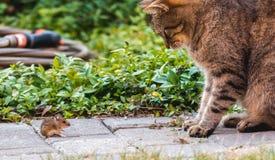 Красивый кот играет с захваченной мышью на зеленой траве стоковое фото rf