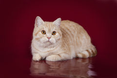Красивый кот персика лежит на красной предпосылке студии Стоковое фото RF