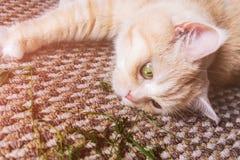 Красивый кот сливк лежит на поле, конце-вверх стоковое фото