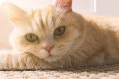 Красивый кот сливк лежит на поле, конце-вверх стоковая фотография