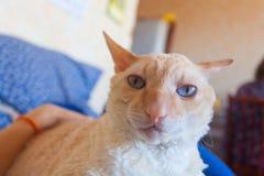 Красивый кот с вьющиеся волосы Стоковое фото RF