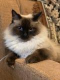 Красивый кот с голубыми глазами стоковые изображения rf
