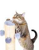 Красивый кот с царапать столб Стоковые Фото