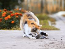 Красивый кот уловил мышь в саде лета и маяча ov стоковое фото rf