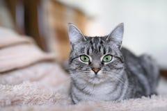 Красивый кот Shorthair американца с зелеными глазами part2 Стоковые Фото