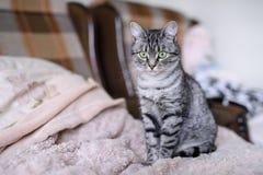 Красивый кот Shorthair американца с зелеными глазами Part4 Стоковое Изображение RF