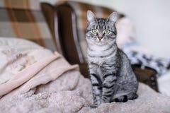 Красивый кот Shorthair американца с зелеными глазами Part3 Стоковые Изображения RF