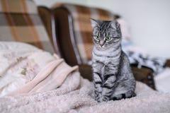 Красивый кот Shorthair американца с зелеными глазами Part5 Стоковые Фотографии RF