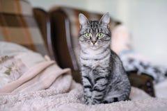 Красивый кот Shorthair американца с зелеными глазами Part6 Стоковые Изображения
