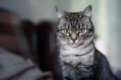 Красивый кот Shorthair американца с зелеными глазами Part7 Стоковое Изображение RF