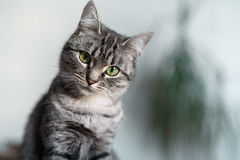 Красивый кот Shorthair американца с зелеными глазами Стоковая Фотография RF