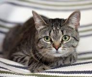 Красивый кот shorthair tabby Стоковая Фотография