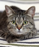 Красивый кот shorthair tabby Стоковые Изображения