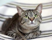 Красивый кот shorthair tabby стоковое фото