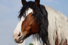Красивый красить лошади смешал с курчавой гривой Стоковое фото RF