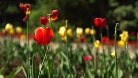 Красивый красный и желтый тюльпан растя на цветнике в парке города в теплом летнем дне против запачканного силуэта  видеоматериал