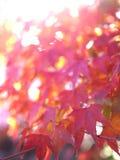 Красивый красный клен выйти блеск под солнечный свет стоковое изображение rf
