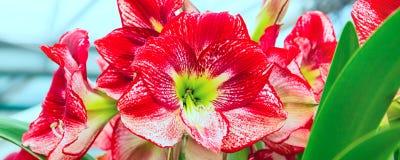 Красивый красный конец макроса цветения цветка лилии вверх Стоковые Изображения RF