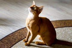 Красивый красный кот любознательно смотря верхнюю часть стоковое изображение