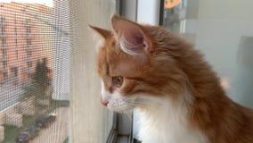 Кот смотрит вне окно видеоматериал