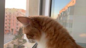 Кот смотрит вне окно сток-видео