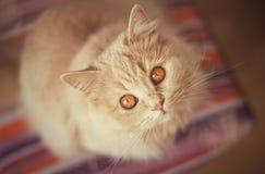 Красивый красный кот смотря вверх Стоковые Фото